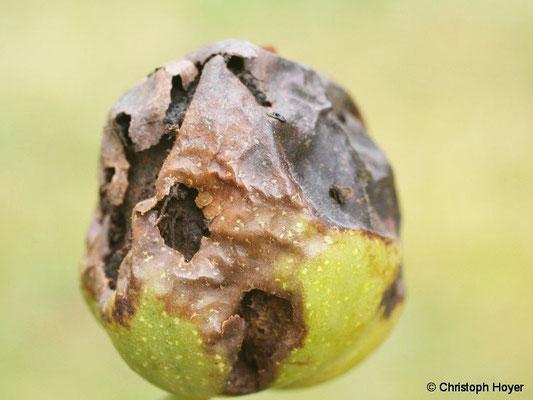 Walnussfruchtfliege - Schadbild