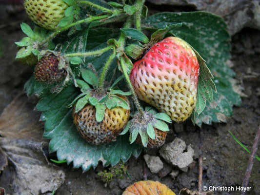 Lederfäule an Erdbeere