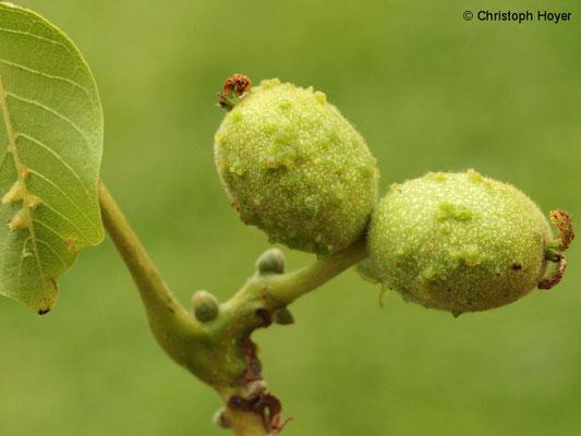 Pockengallmilbe (Aceria tristriata) an Walnuss (Juglans regia) - Schadbild