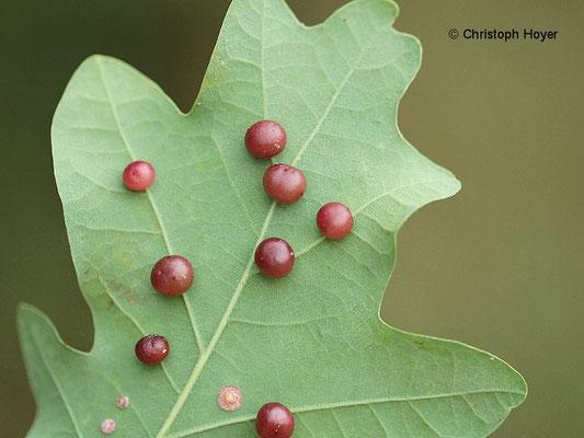 Gallapfel - Schadbild - Cynips quercusfolii
