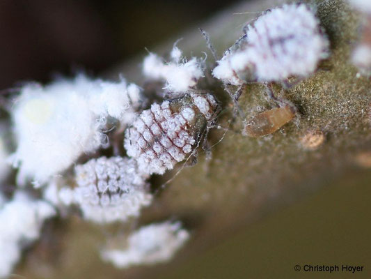 Eschenblattnestlaus (Prociphilus spec.)