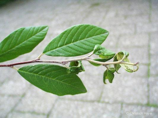 Blattläuse an Cotoneaster - Schadbild