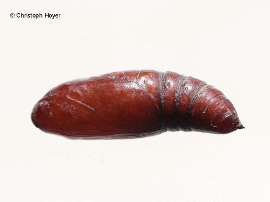 Puppe eines Eulenschmetterlings