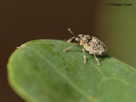 Gefleckter Kohltriebrüssler (Ceutorhynchus pallidactylus)