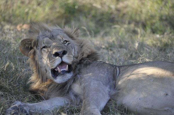 Der Löwe lag etwa 200 Meter entfernt von einem anderen Leoparden, vollgefressen. Hatte dem Leoparden die Beute geklaut. . Mit Schnappatmung beim Verdauen.  D500 300mm/JPG unbearbeitet aus der Kamera