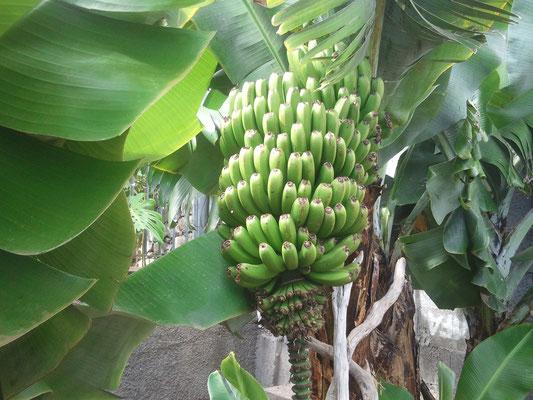 Bananenstaude im Garten