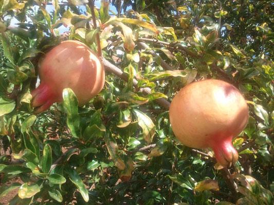 Granatäpfel im Garten