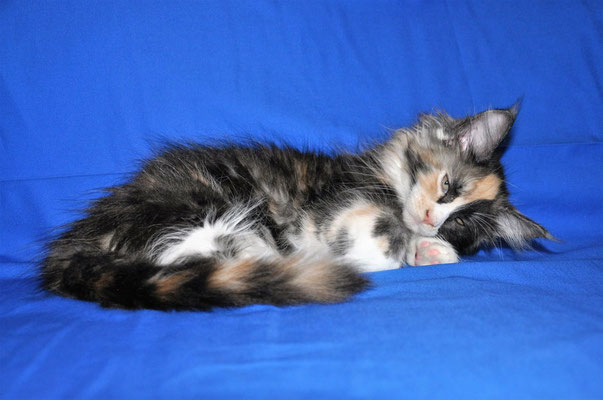 "McCartney Spoonlove ""Anfisa"", black tortie smoke & white, female"