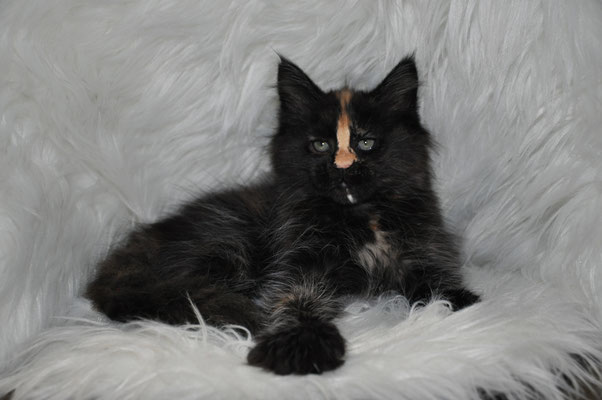 "Luna ""Cipher"", solid tortie, female maine coon kitten"