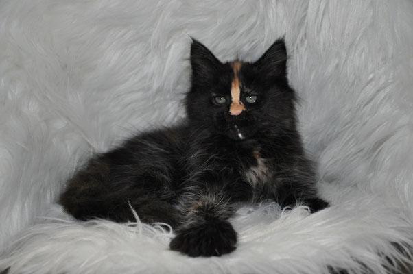 """Luna """"Cipher"""", solid tortie, female maine coon kitten"""