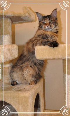 archive/ Previous Available kittens Gallerys - Maine Coon
