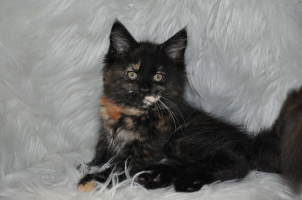 "Hazel ""Calie"", solid tortie, female maine coon kitten"