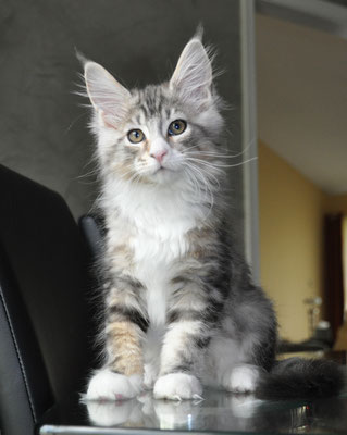 Bentley, silver classic tabby & white, male maine coon kitten
