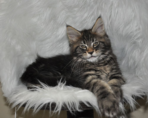 Cajun, black classic tabby, male maine coon kitten