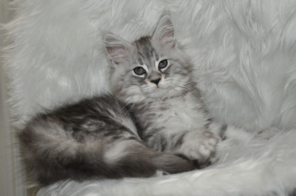 "Taj ""Creed"", high silver classic tabby male maine coon kitten"