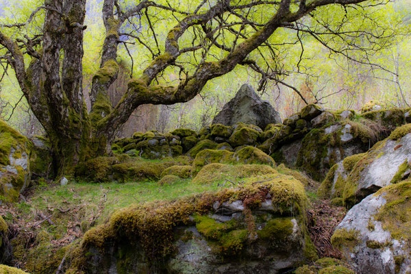alter (Birken-) Wald beim Wasserfall Feigefossen