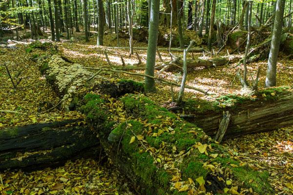 """Bayerischer Wald. Der einst so mächtige Baum wird langsam wieder zu Erde. """"Alles wechselt, nichts vergeht"""" (Ovid)."""