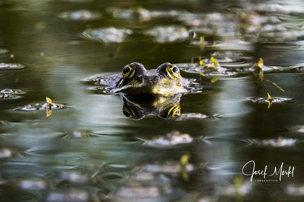 neugieriger Frosch in der Schwarzach bei Schwarzhofen