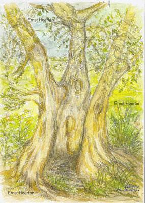 5.6.- Toscana-alter-Olivenbaum          /     180.- €