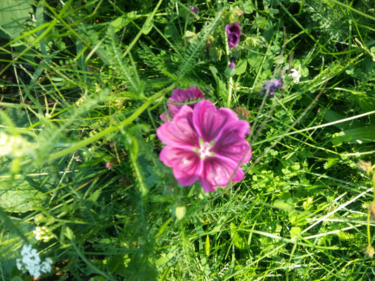 Malve - eine wunderschöne Dauerblüherin