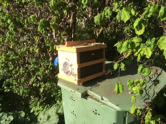 Die Traube wird in die Kiste geschüttelt. Ist die Königin drin, wollen auch alle Arbeiterinnen zu ihr in die Kiste.