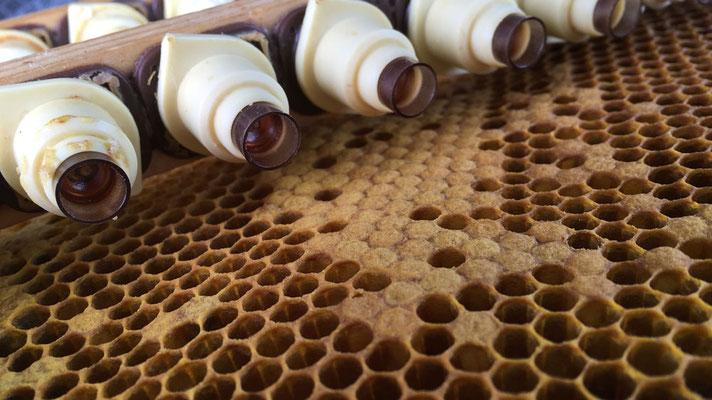 Die winzig kleinen Larven werden aus der Bienenwabe in die künstlichen Weiselnäpfchen umgebettet.