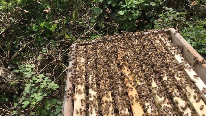 Dem Bienenvolk wird die Königin und alle offene Brut entnommen. Jetzt müssen sie aus den Larven eine Königin hervorbringen.