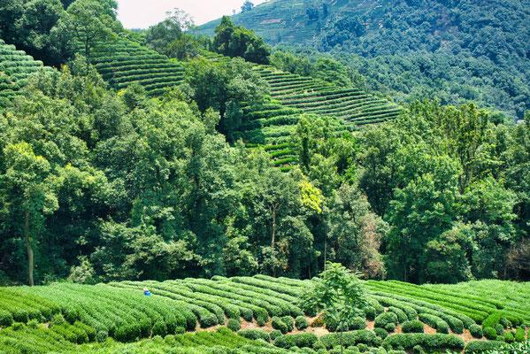 Thee plantages bij Hangzhou, China