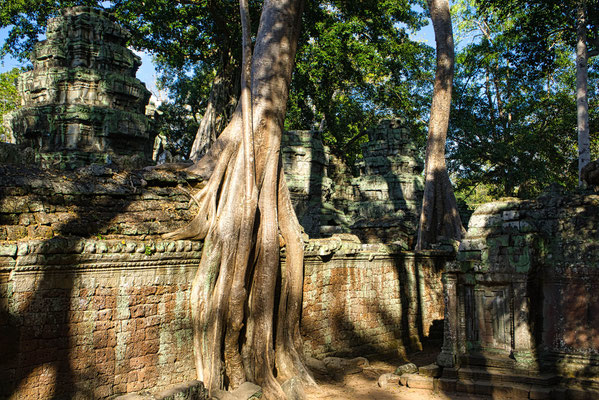 Bomen laten hun wortels over de ruïnes van de tempels groeien