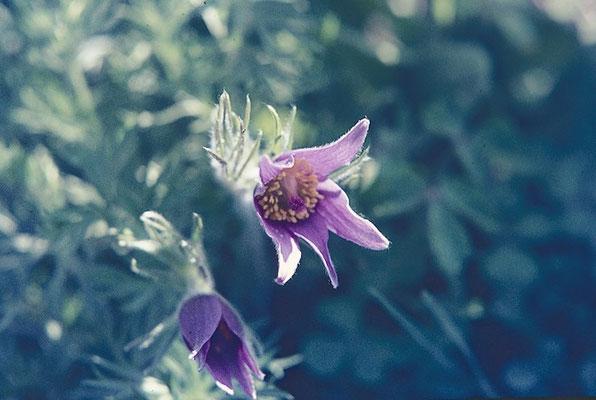 der immergrüne Bergflachs sieht gut aus zwischen Ihren Blumen !