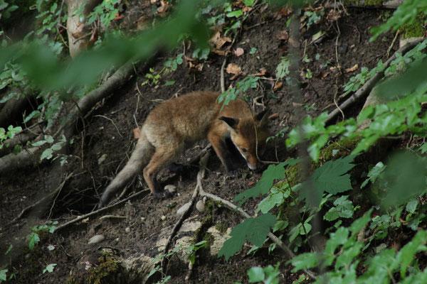 Fuchs (Vulpes vulpes) Beim Bau ausbessern