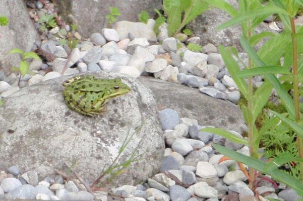 Kleiner Wasserfrosch (Pelophylax lessonae)