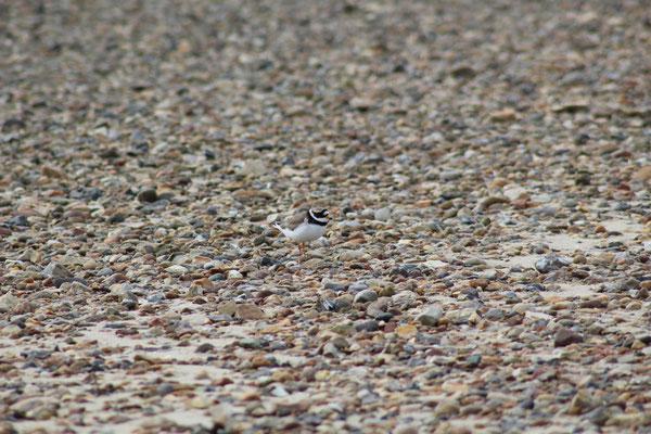 Suchbild mit Sandregenpfeifer (Charadrius hiaticula)