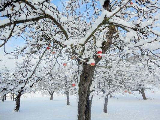 Winterapfel, Vechigen, Kanton Bern