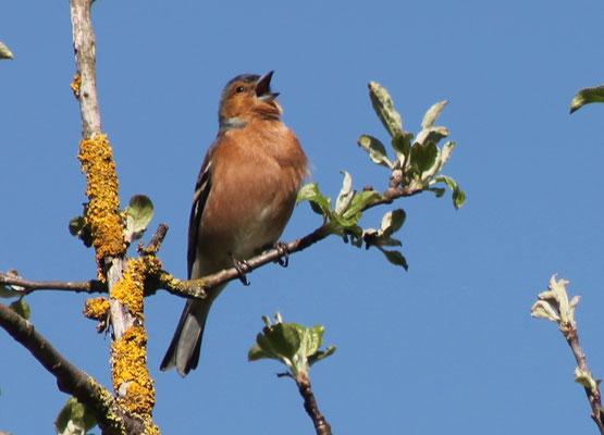 Buchfink männlich (Fringilla coelebs)