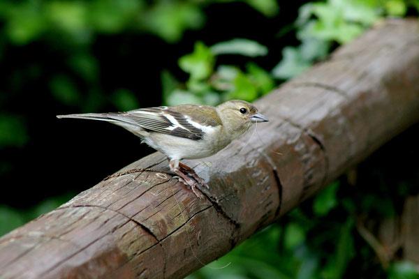 Buchfink weiblich (Fringilla coelebs)