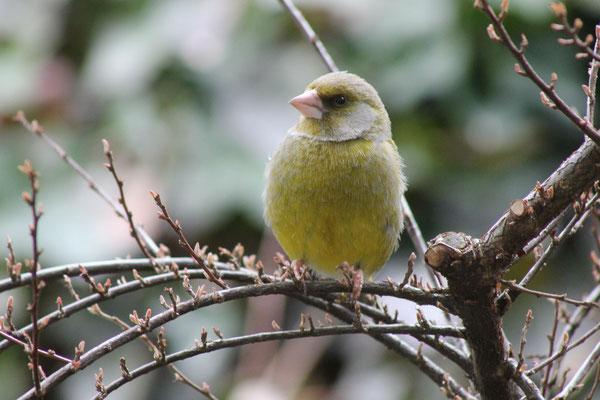 Grünfink (Chloris chloris)
