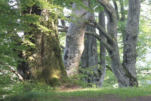 Alte Bäume, Kanton Bern