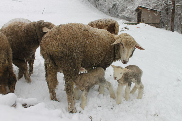 Winterschafe (Ovis aries)
