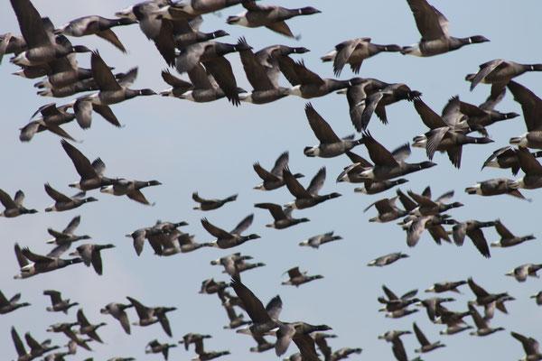 Ringelgänse (Branta bernicla) Jeden Frühling fallen auf Hallig Hooge tausende von Ringelgänsen ein. Es gibt dort extra Ringelganstage