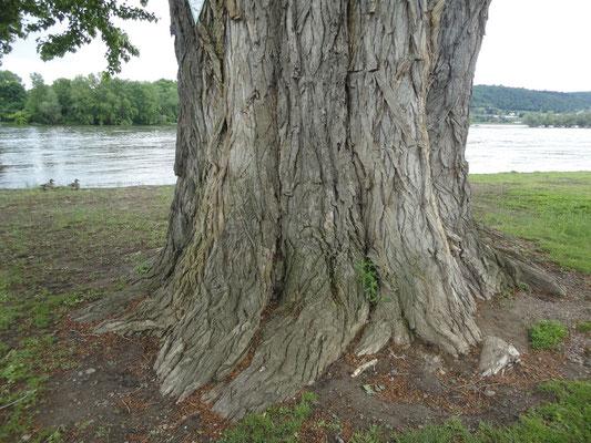 Rüdesheim, alter Baum am Rhein