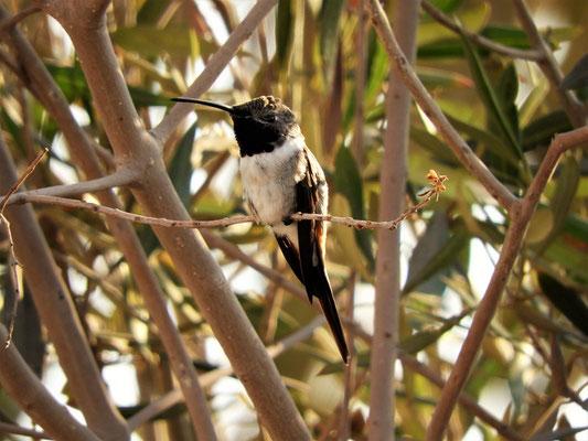 Unsere Nachbarn - Kolibris