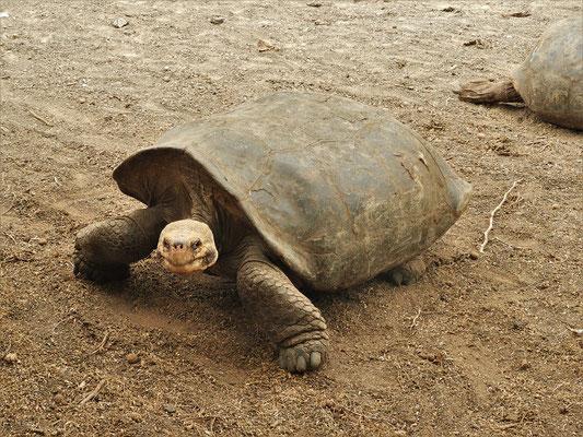 Die Schildkröte mit abgeflachtem Panzer