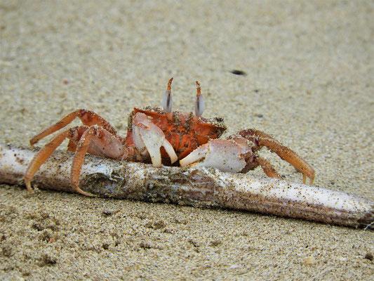 Die Krabben knabbern an einer toten Schlange