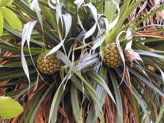 ....oben Ananas ähnliche Nüsse