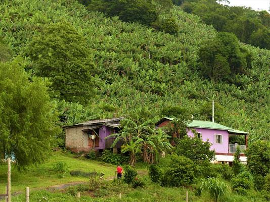 Bananen Plantagen
