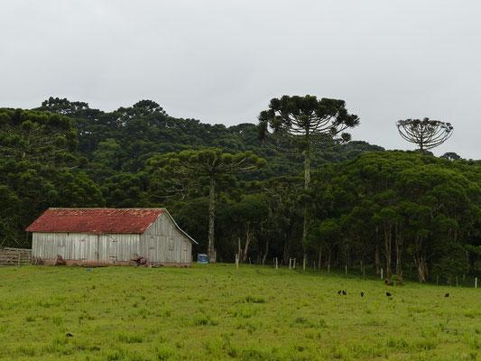 Araukarien Wald - die grossen Bäume sind über 100 Jahre alt !