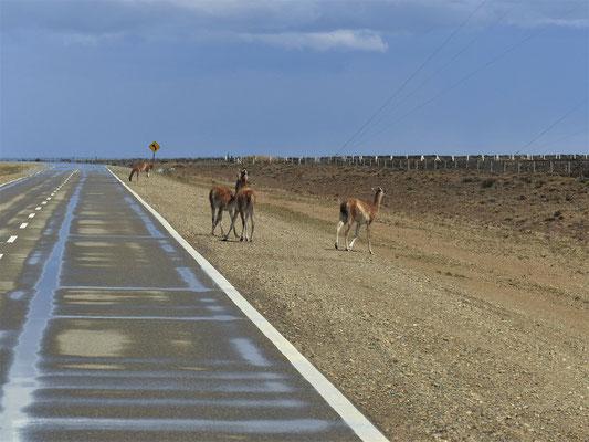 Ab und zu überquert eine Guanaco-Herde die Strasse