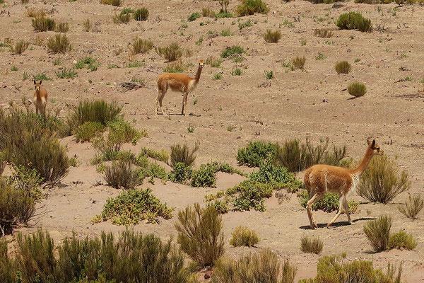 Vicuñas, die wilden Vetter der Lamas