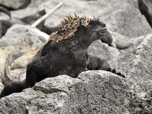 Salzkruste auf Kopf kommt vom Niessen der Leguane